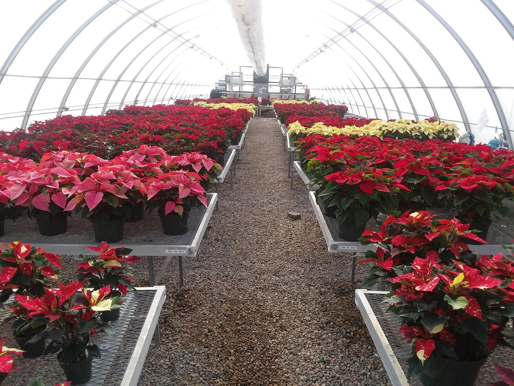 Look At Yellow Flower Clusters Leaf Color Before Buying Poinsettia Lifestyles Kearneyhub Com