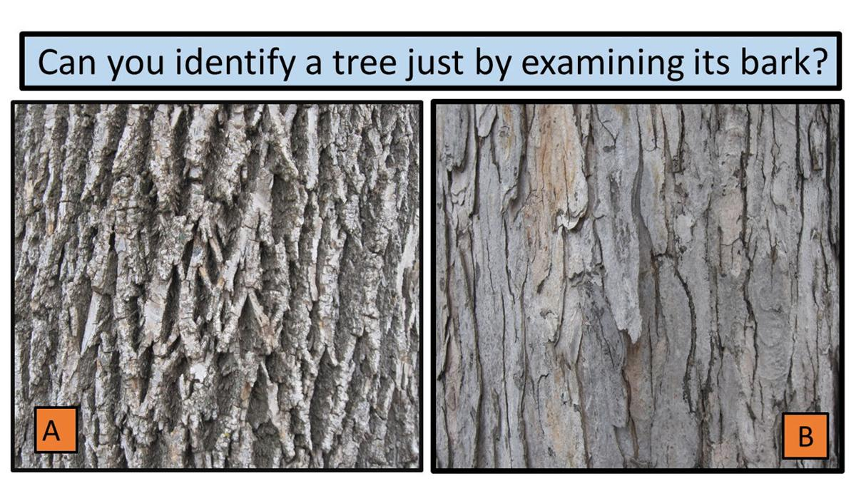 Bark another way to identify trees yard and garden - Tell tree dying order save ...