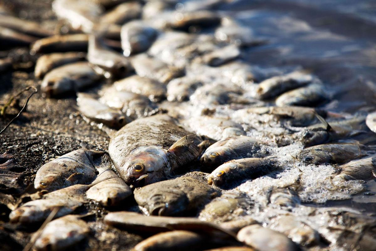 39 acres of dead shad 39 more than 250 000 fish killed at for The fish omaha