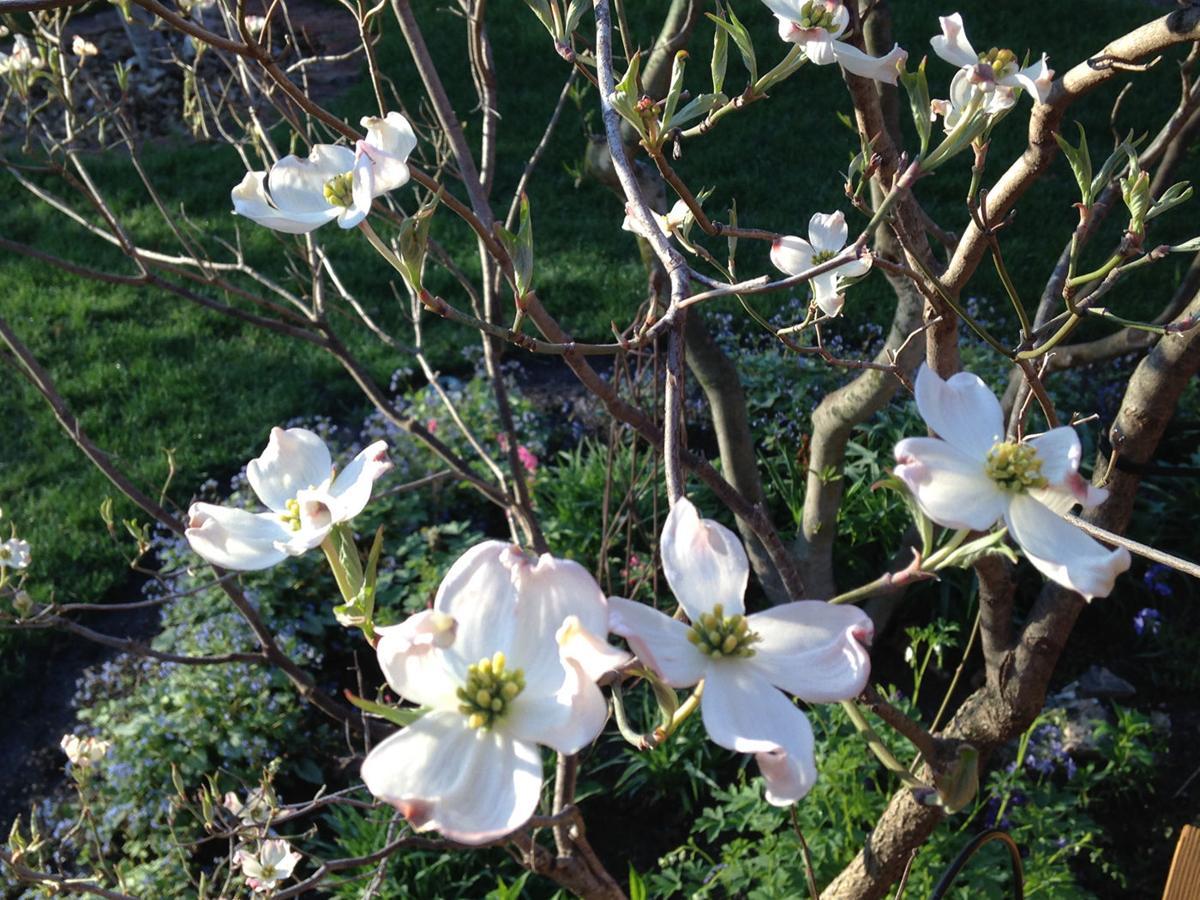 Dogwood Is A Tree For All Seasons Yard And Garden Kearneyhub