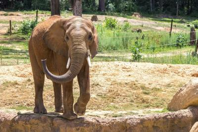 Callee, an African elephant