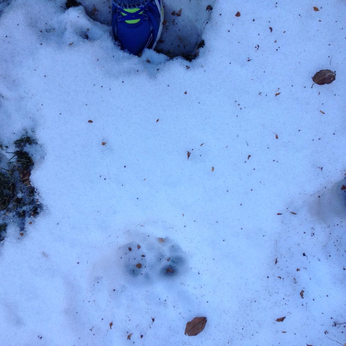 Mountain Lion Paw Print?