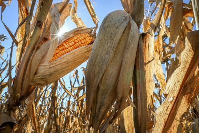 Corn teaser