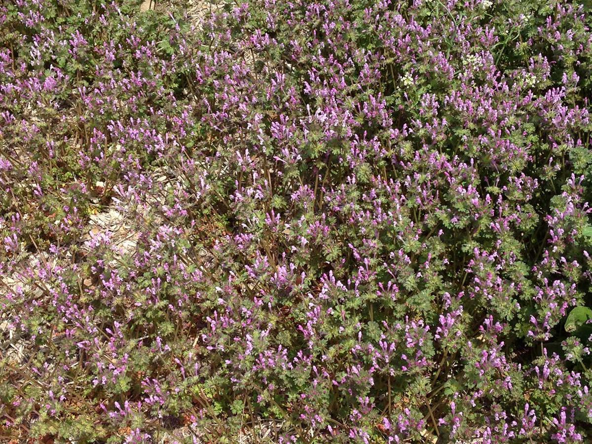 Ounce of prevention goes well with weed control   Yard-and-garden ...