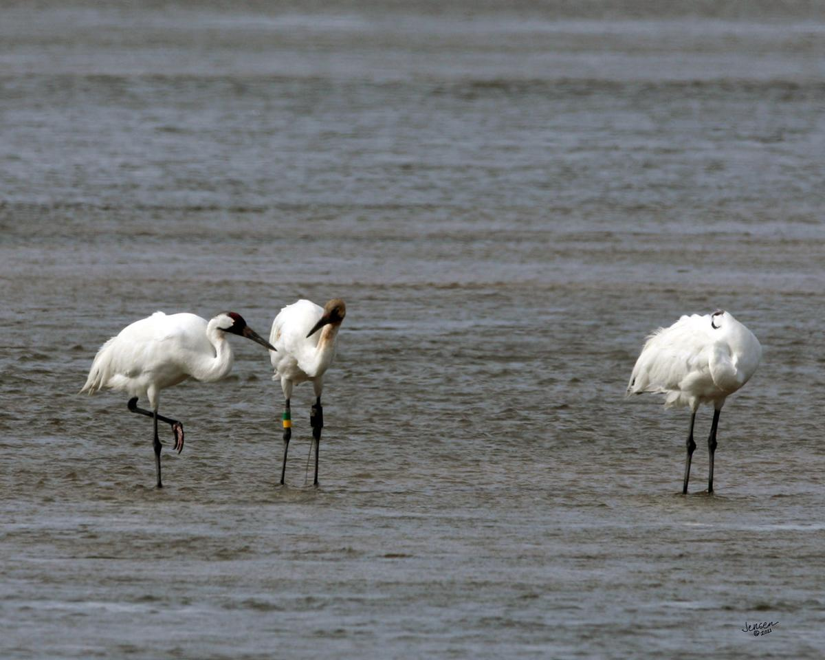 As sandhill cranes leave the area, whooping cranes will swoop in to