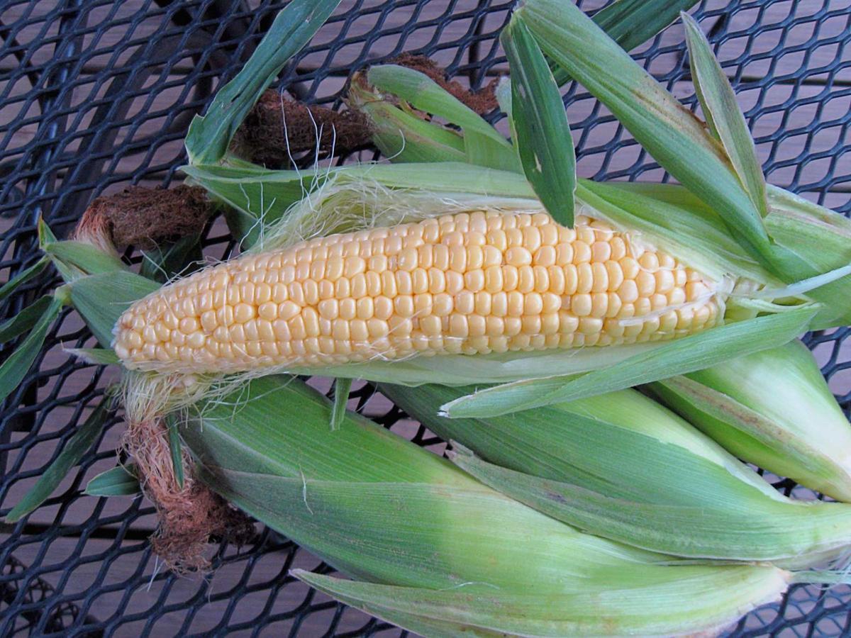 bite into juicy whole grain sweet corn yard and garden