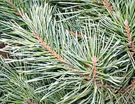 Like Fingerprints A Tree S Leaves Are Unique Lifestyles Kearneyhub Com