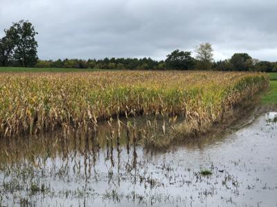 flooded cornfield