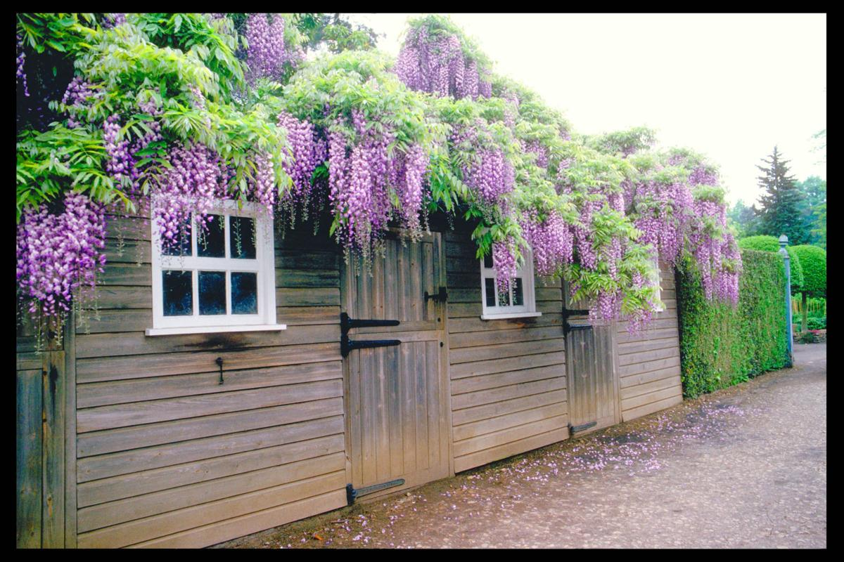 Yardsmart How To Choose The Right Wisteria For Your Garden Your