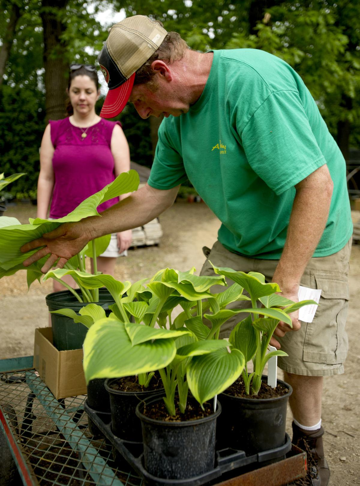 Hostas never let you down: Car guy tends three-acre