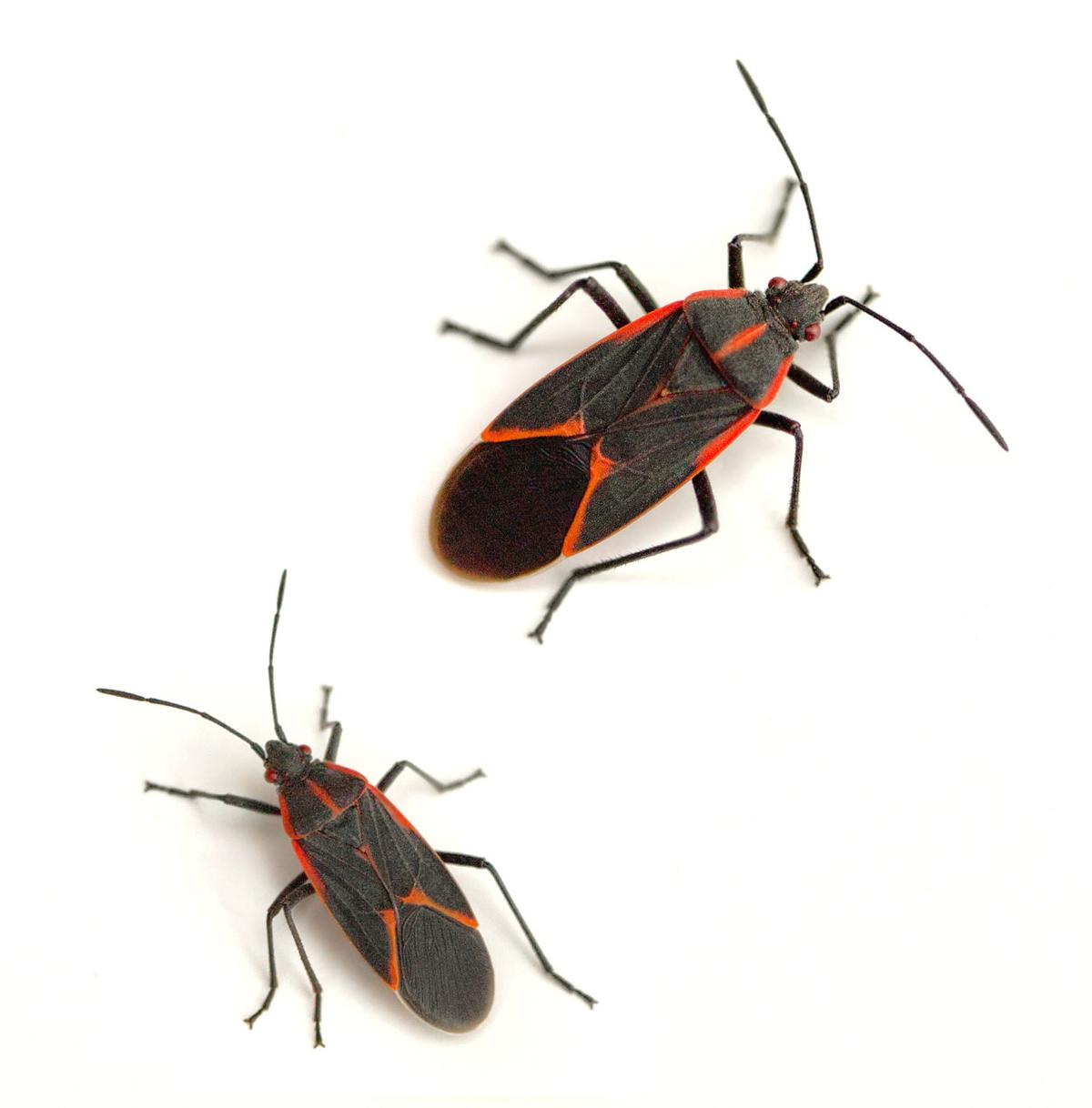 Brown marmorated stink bug: An unwanted guest | Life
