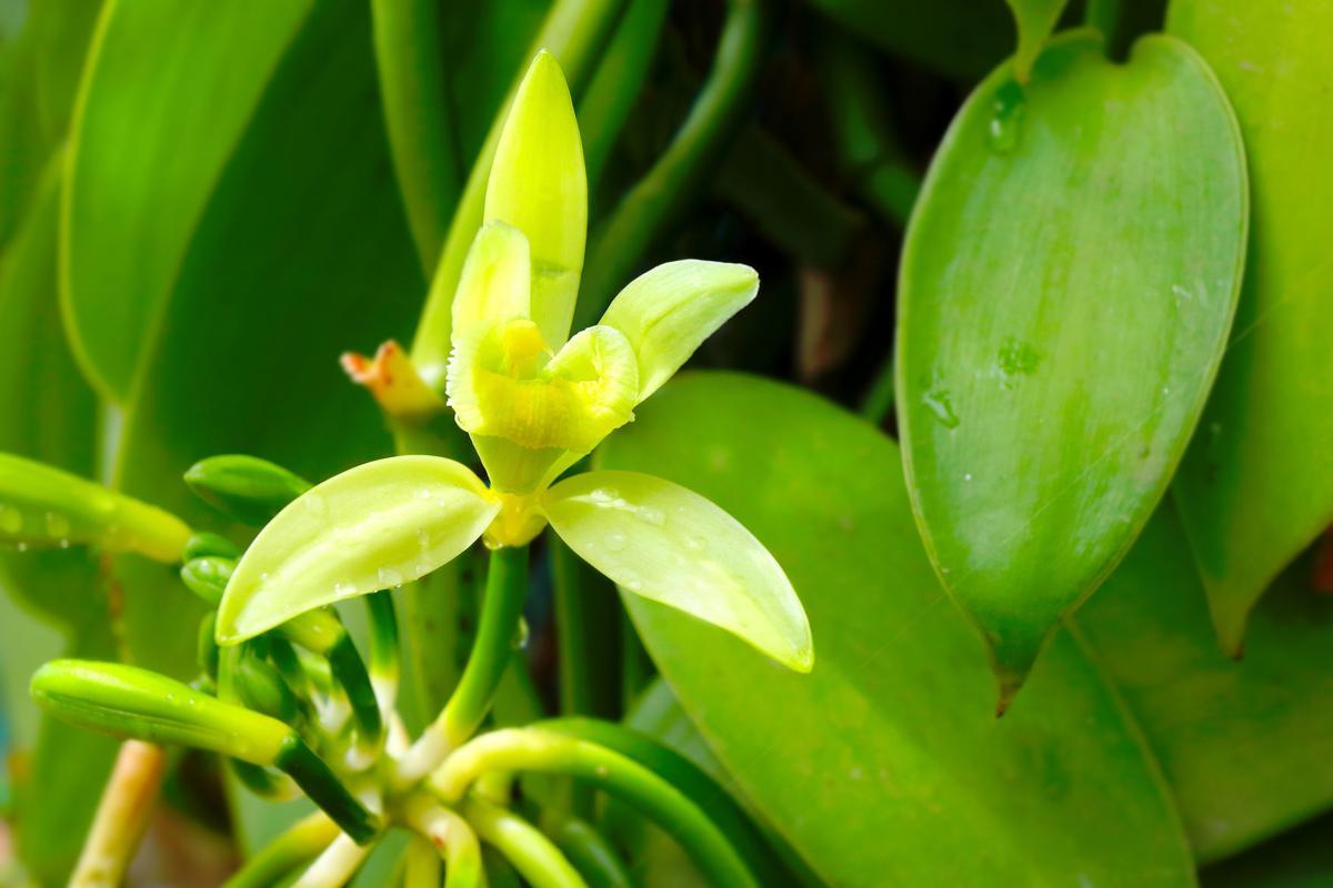 vanilla flower.jpg