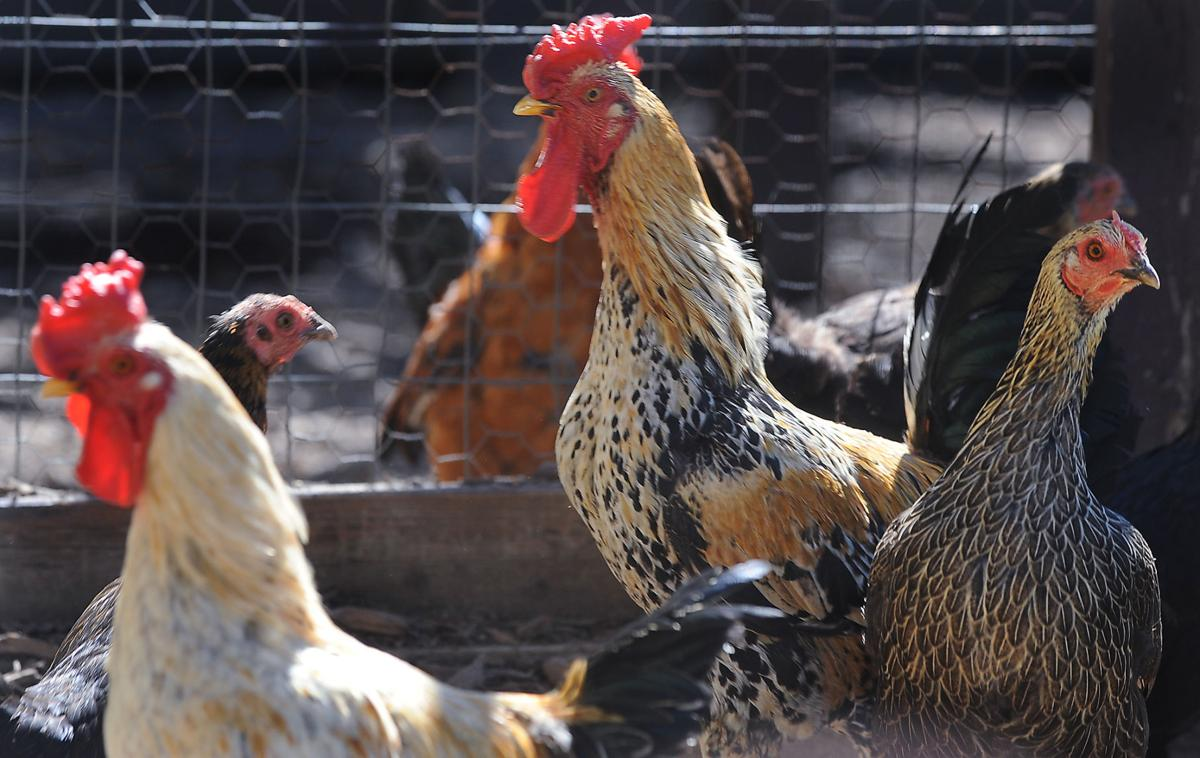 backyard chickens may be allowed in salem lakes local news