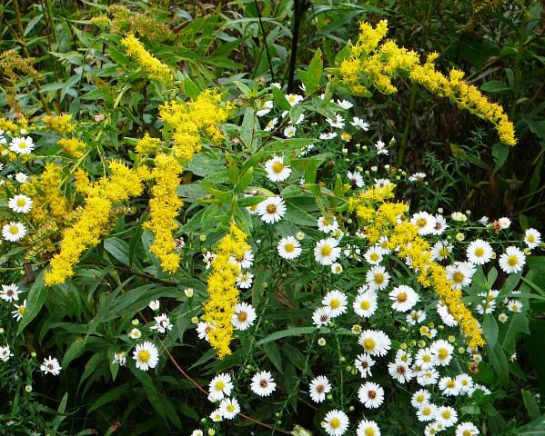 jerome-solidago and aster