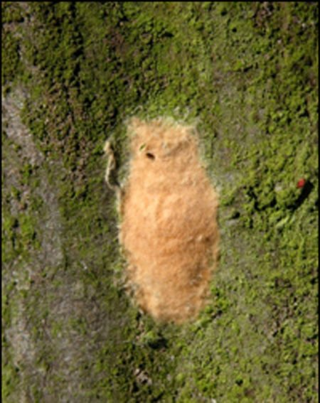gypsy moth egg mass.jpg