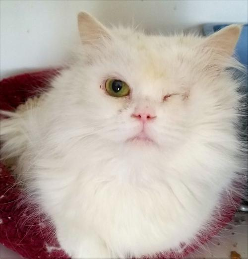 Persian cat rescued by Kenosha-based Specialty Purebred Cat Rescue