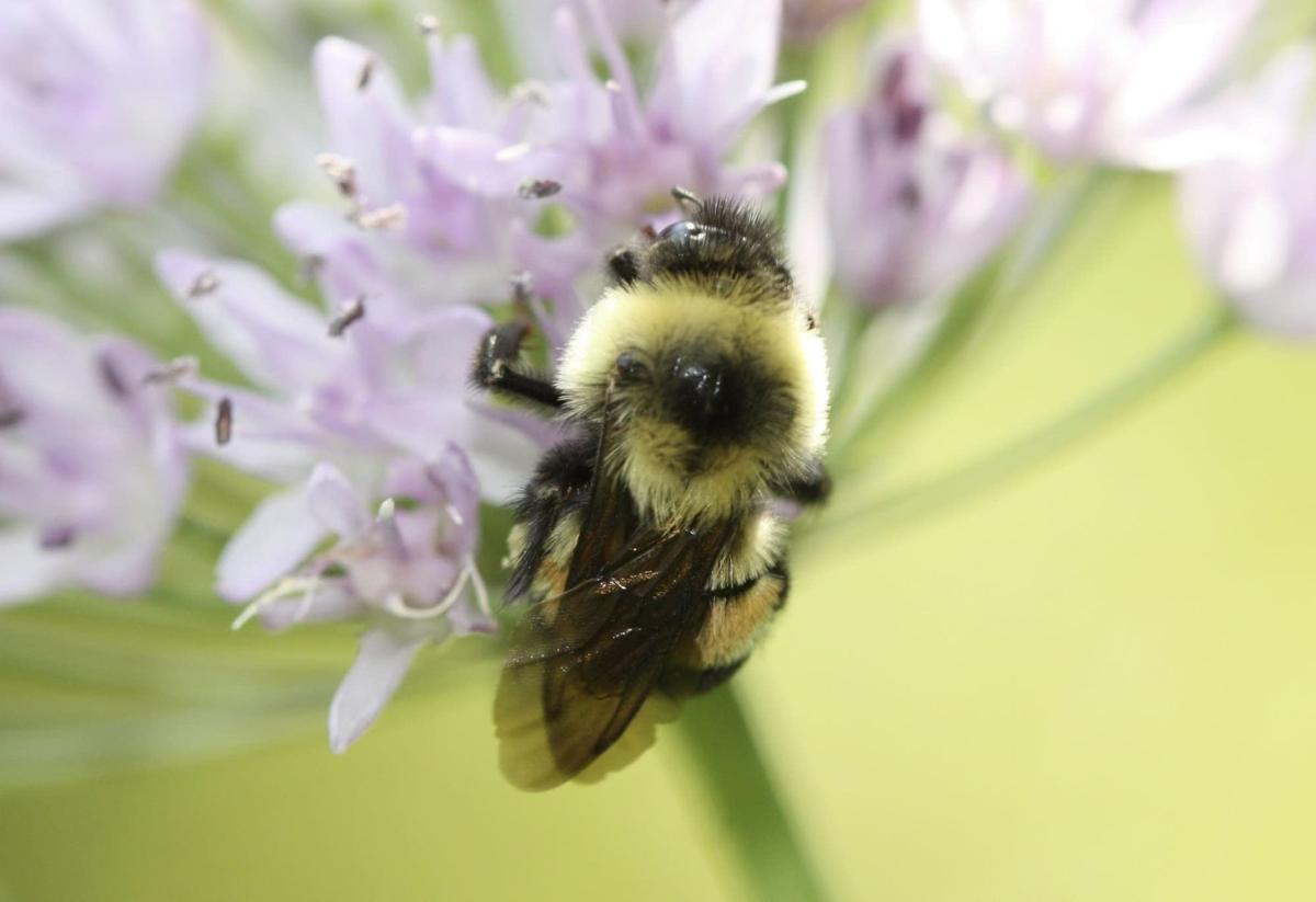 rusty patched bumblebee.jpg