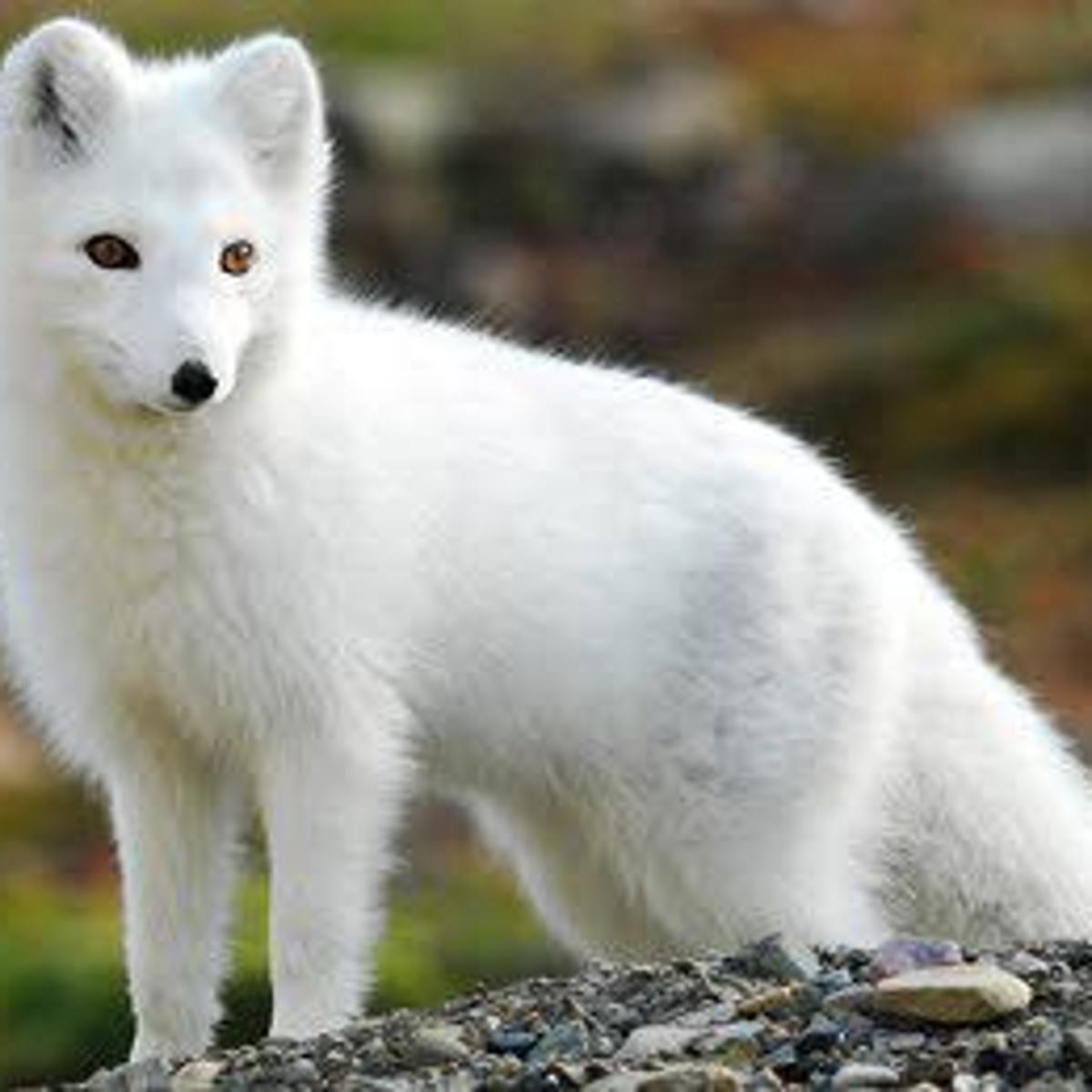 Twin Lakes Man Seeks To Have Fox As Pet News Kenoshanews Com