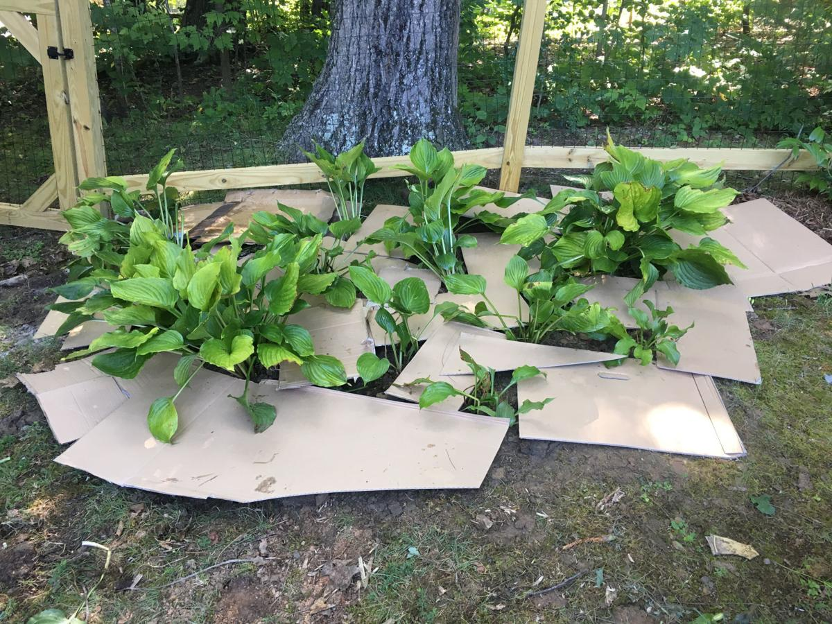 jerome-hosta bed with cardboard