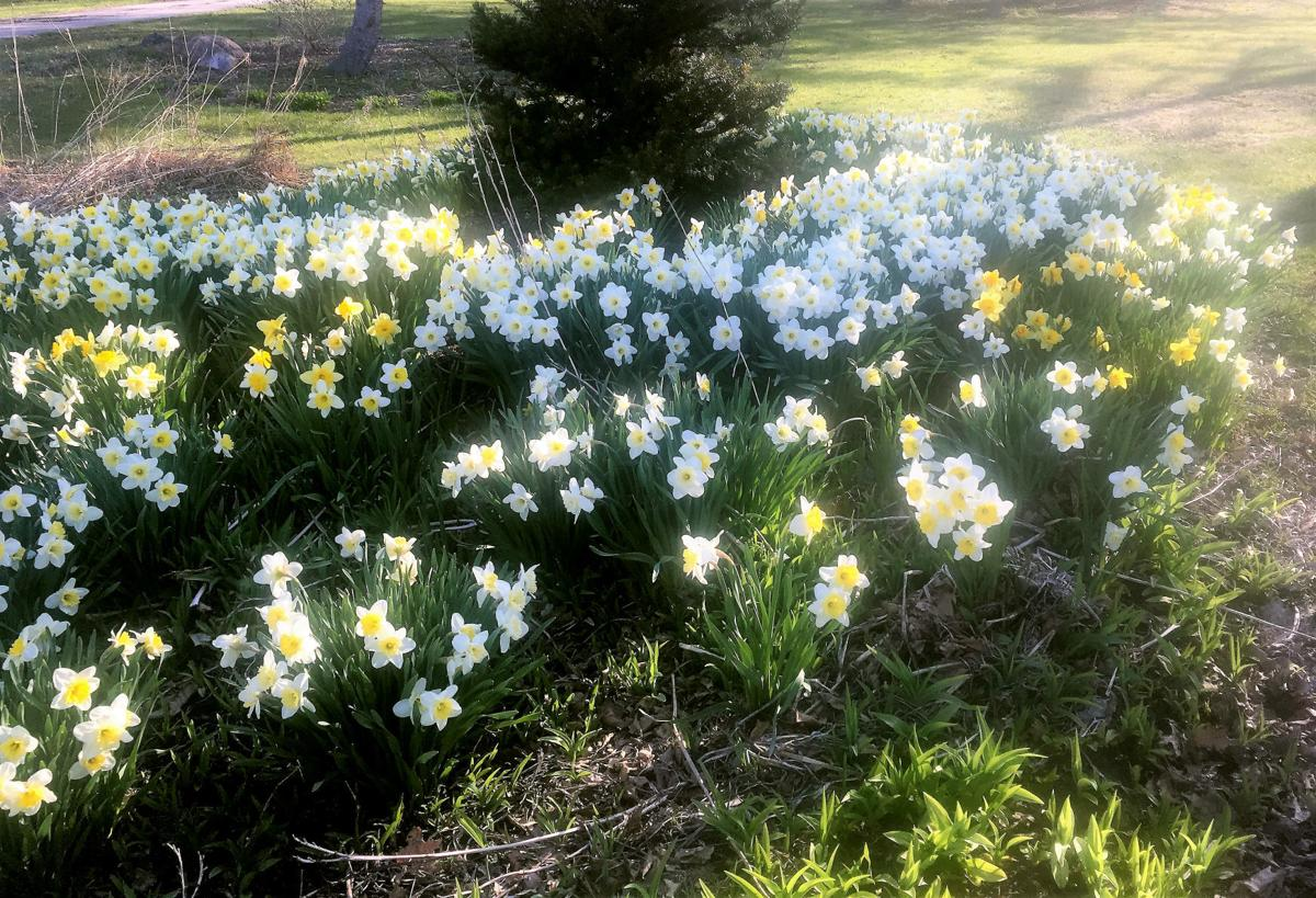 Secret gardening brings spring surprise for mom your home daffodils secretly planted by kate jerome at her moms home last november bloomed in time for her mothers birthday and for mothers day izmirmasajfo