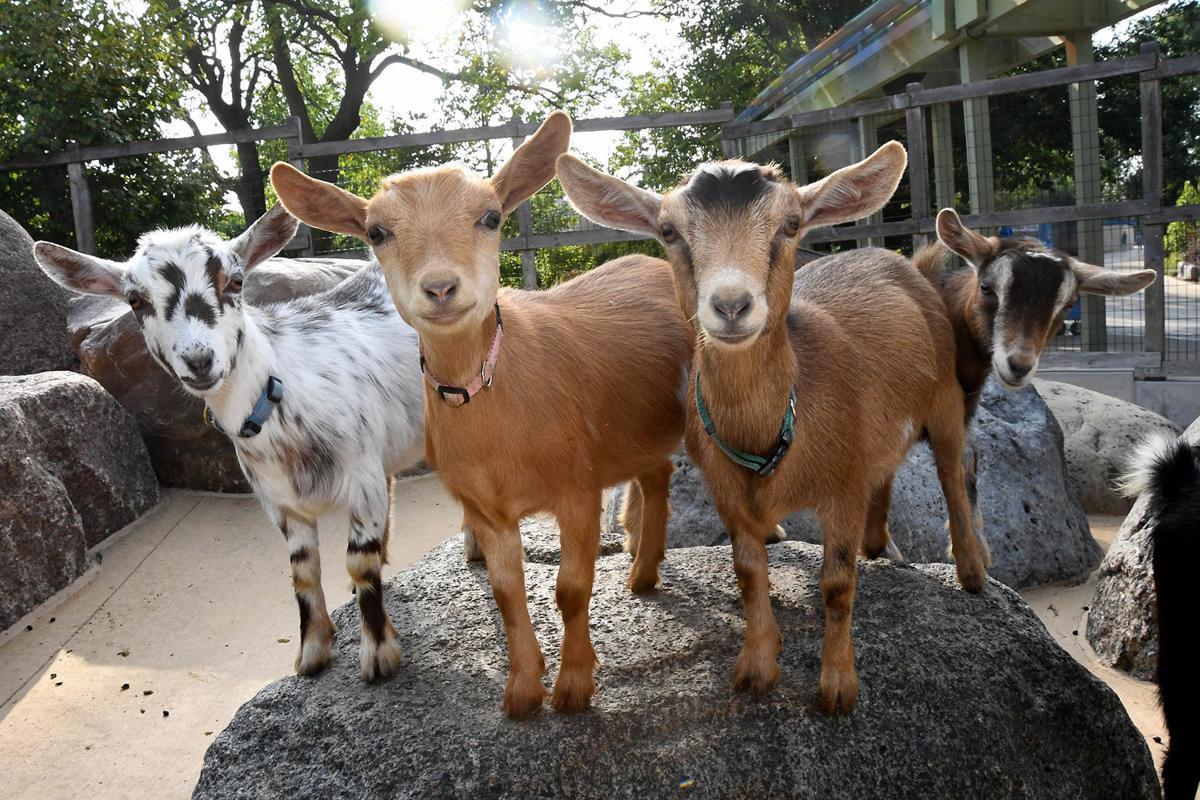 Brookfield Zoo Nigerian dwarf goats.jpg