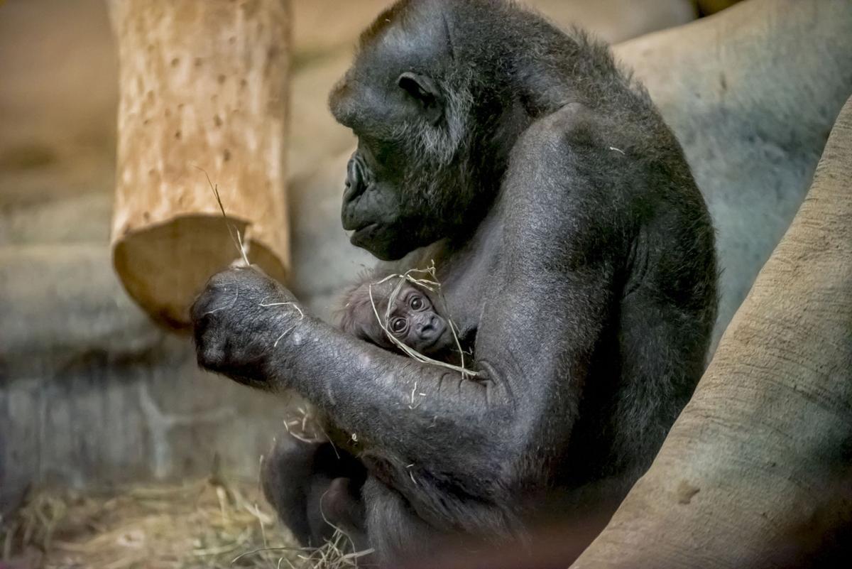 Bergin Gorilla Baby Nov 12 2017