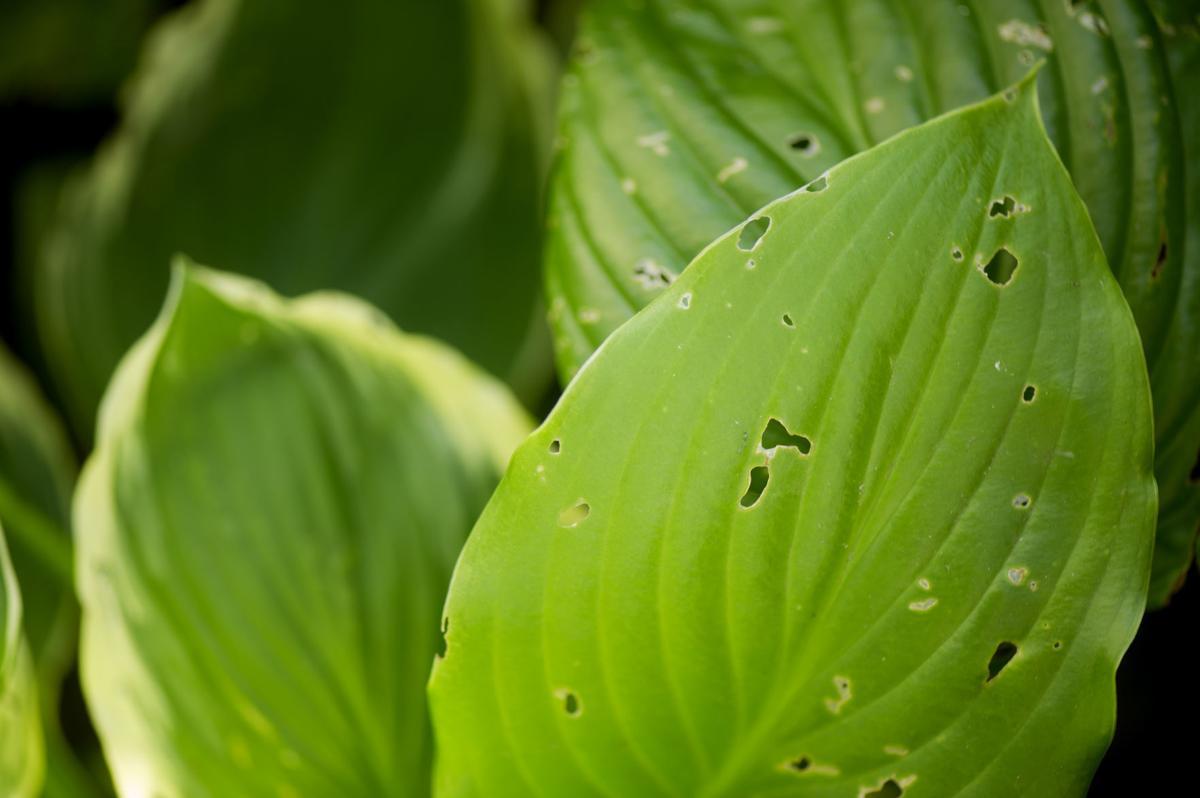 Hosta Problems Arent Wholly Due To Slugs Kenoshanewscom