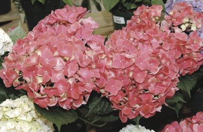 Hydrangeas - pink or blue? You decide the hue