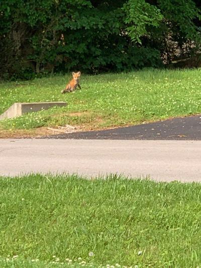 Foxes find habitat near Marietta Drive home Animal control says don't feed wild animal if sighted