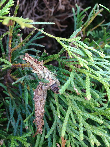 Use insecticides or hands to rid of bagworms | Kelly R