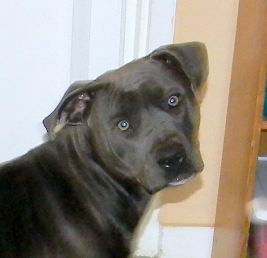 The pit bull Blue