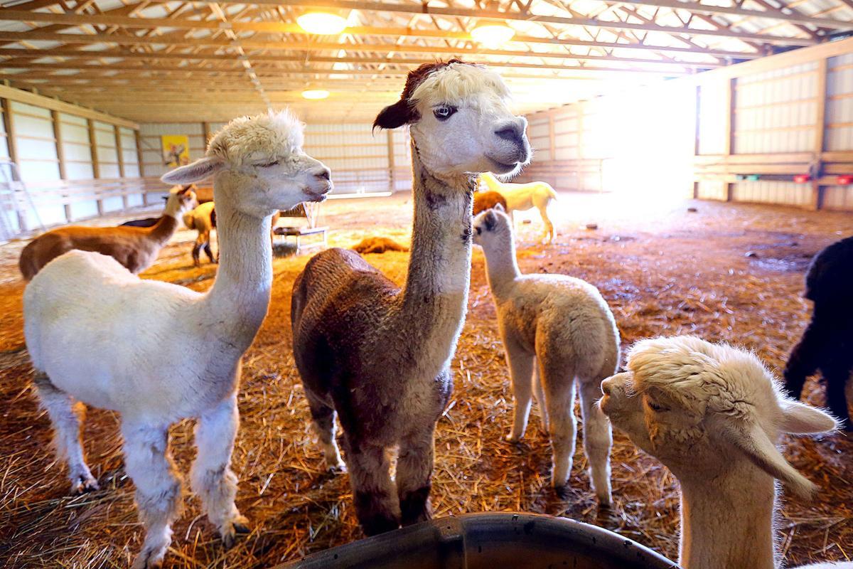 Alpaca Farm 09.jpg