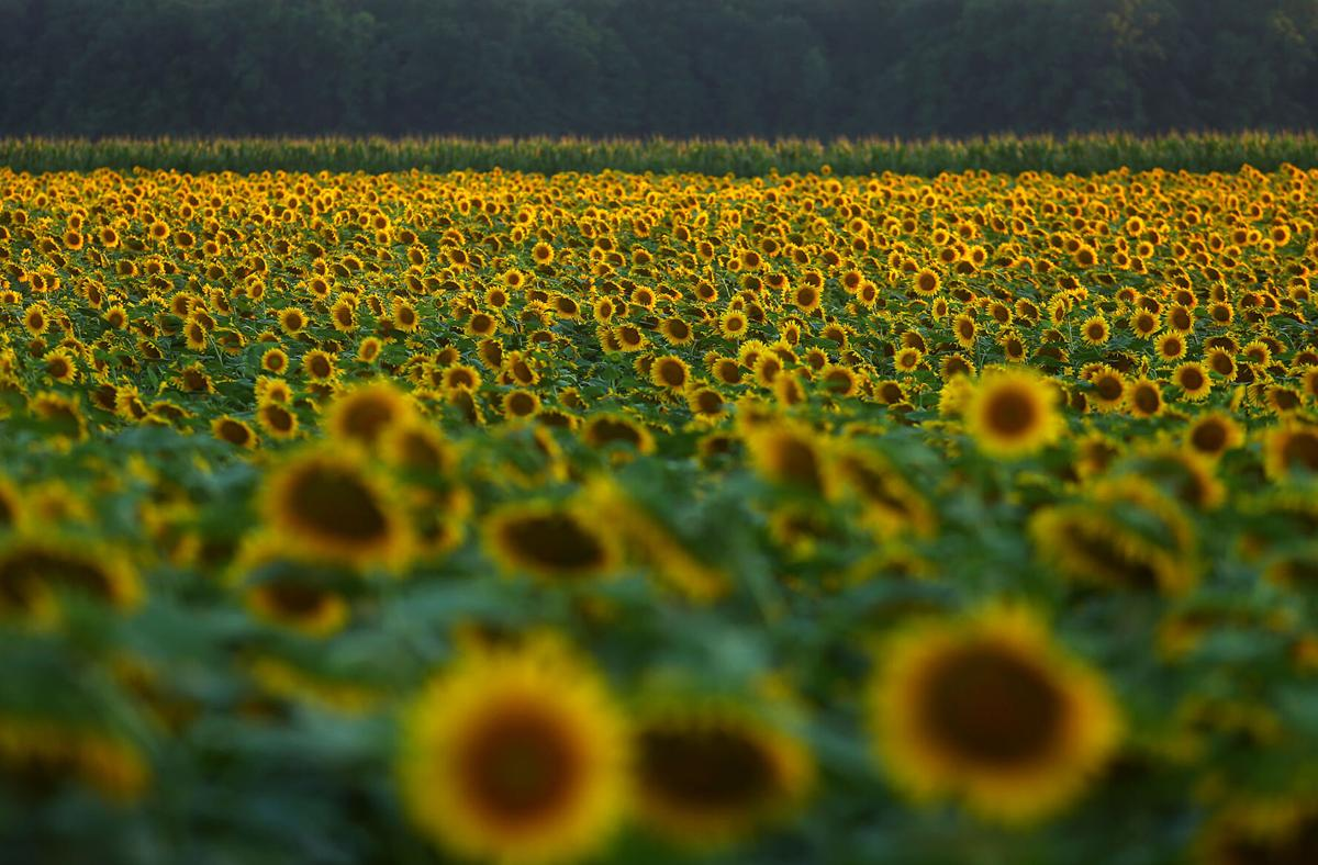 Sunflowers 06.jpg