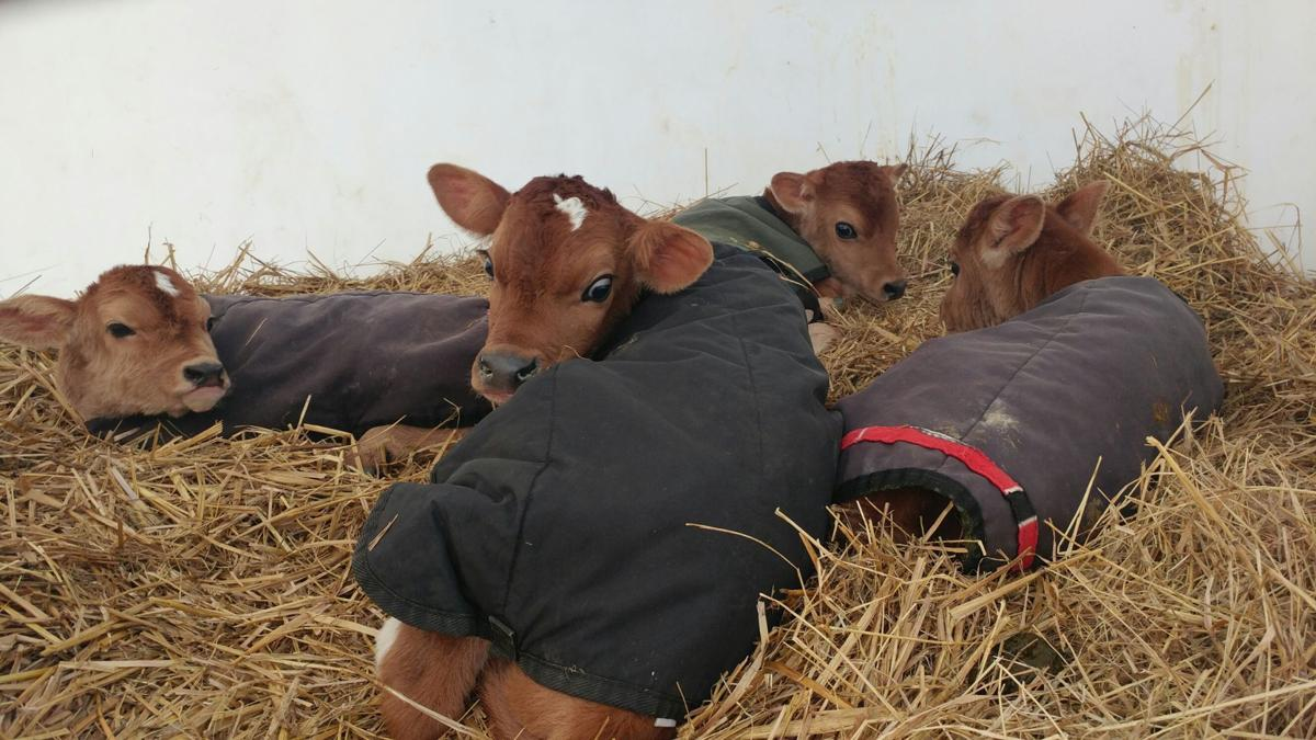 Paul Larson: Colostrum — a cow's first milk is liquid gold