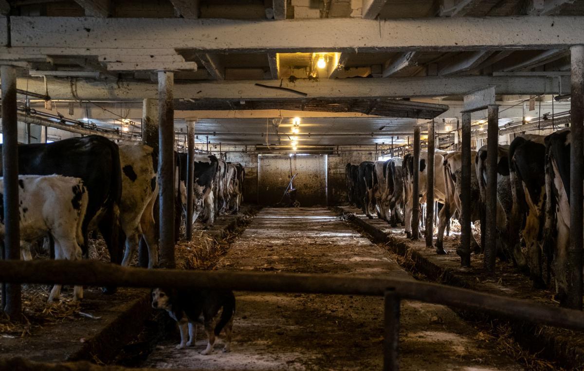 Von Ruden Cows Eating