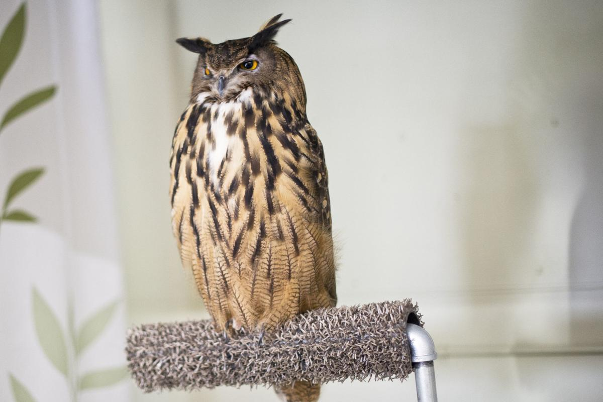 International Owl Center Offers Free Admission During Minnesota Neighbor Weekend Local Lacrossetribune Com