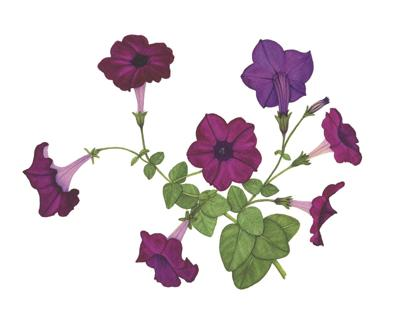 Anne Butera's 'Purple Petunias'