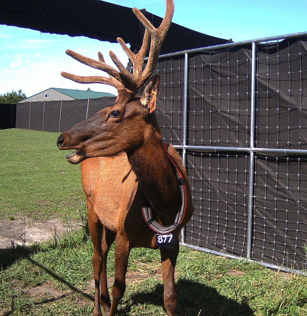 Elk Leaving 2