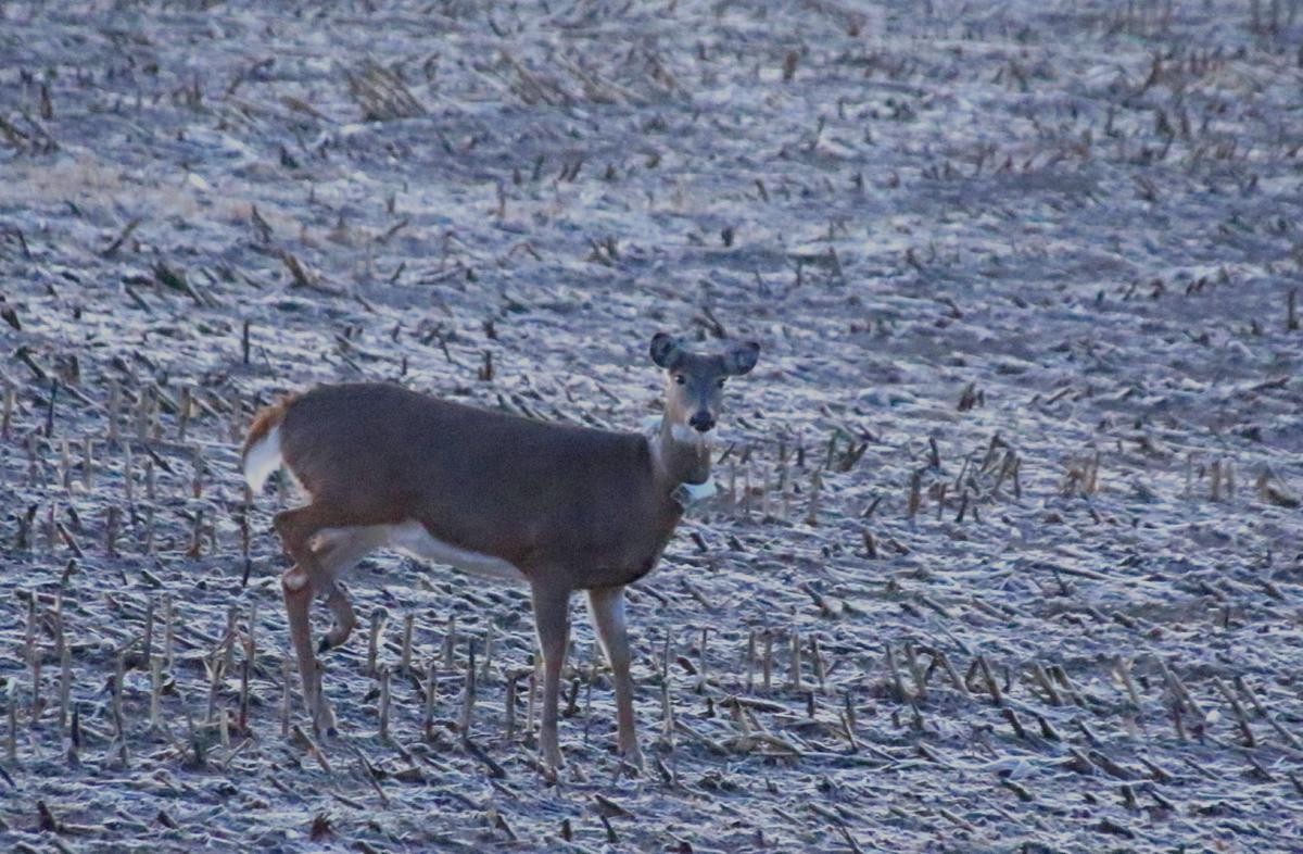 An antlerless deer tiptoes