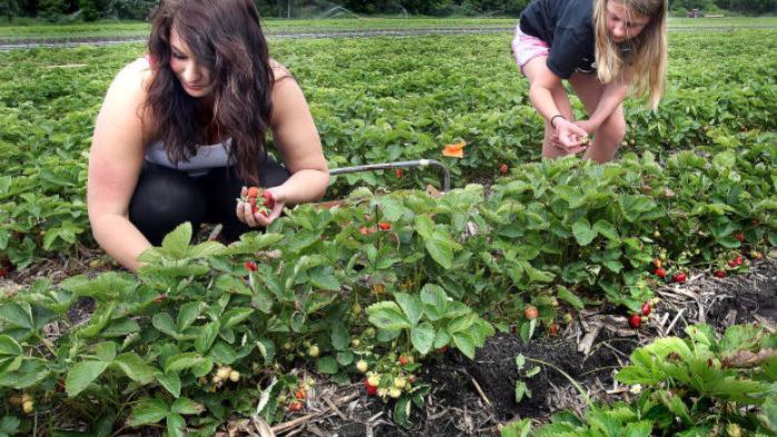 Strawberry Season Offers A Taste Of Summertime Local News Lacrossetribune Com