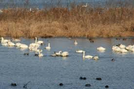 Tundra Swans at Brownsville