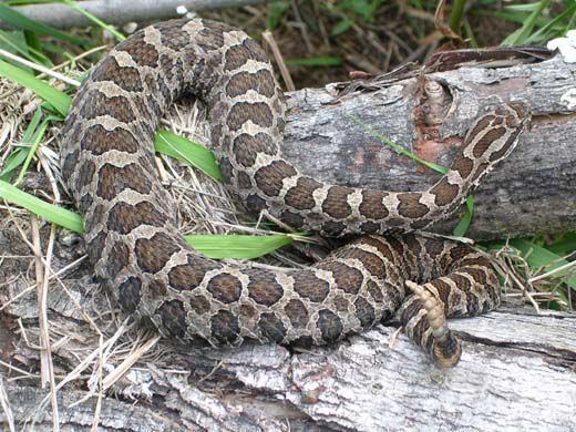 Rare massasauga rattlesnake found in Jackson County