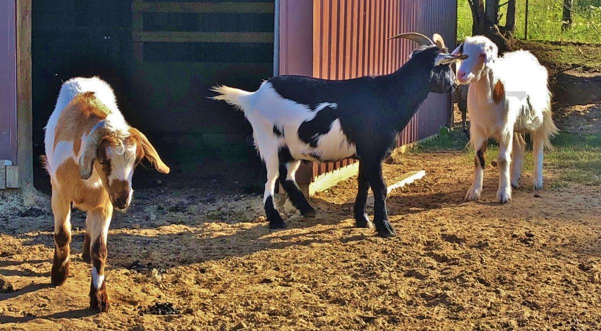 Hardie goats