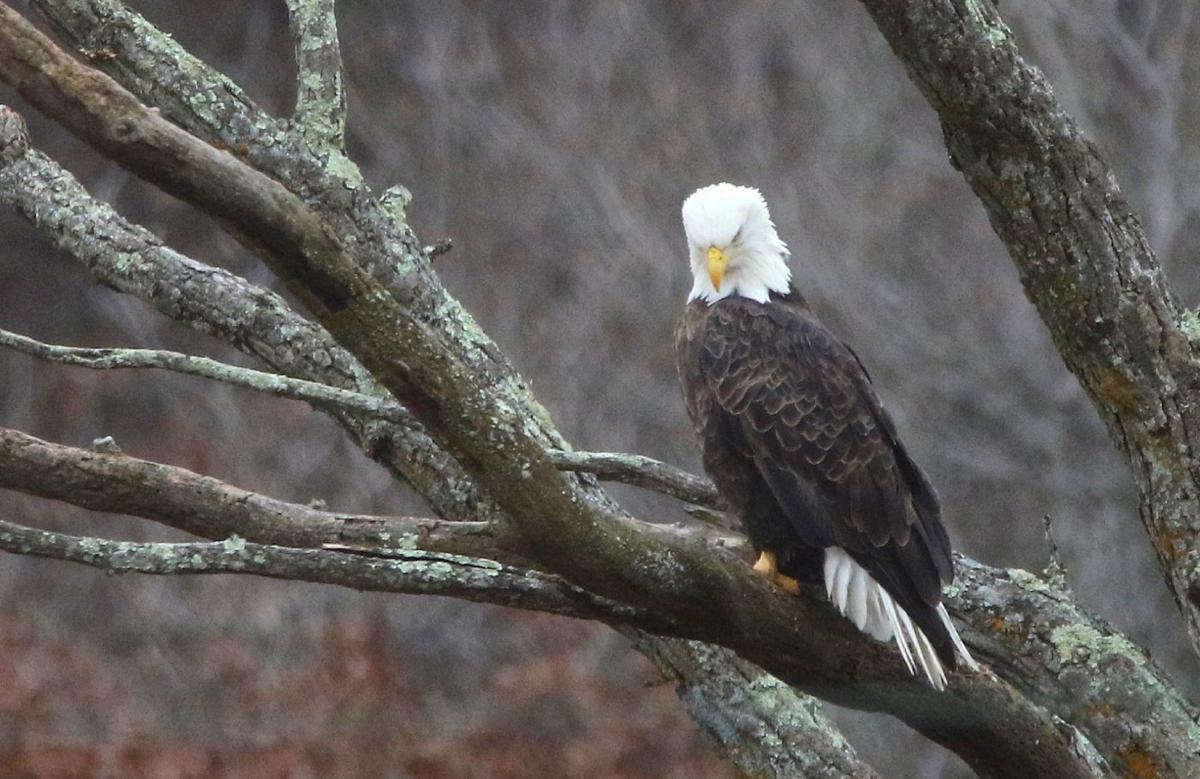 Bald Eagle in Iowa