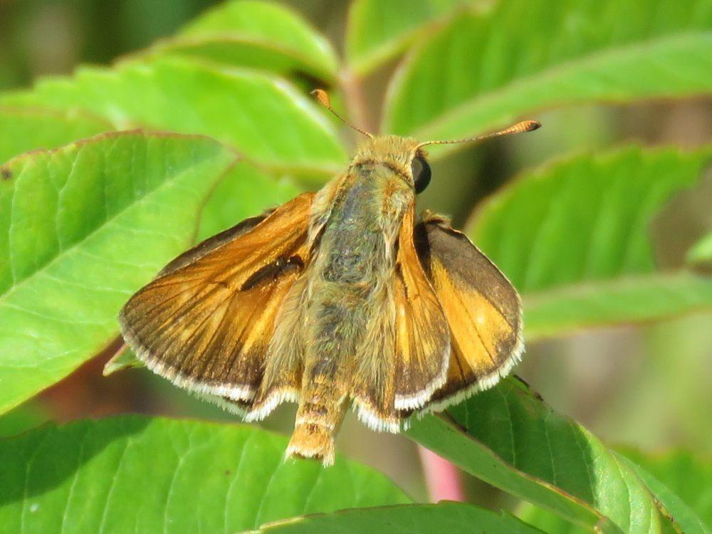 Ottoe butterfly