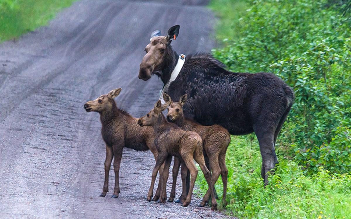 Moose with calves