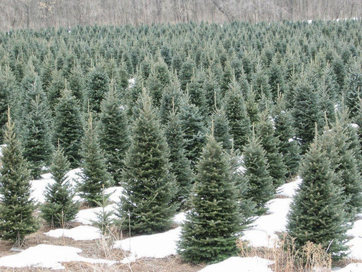 Chris Hardie: Christmas trees are a Wisconsin tradition | Local ...