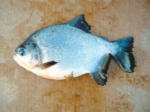 Funny-looking fish are no laughing matter