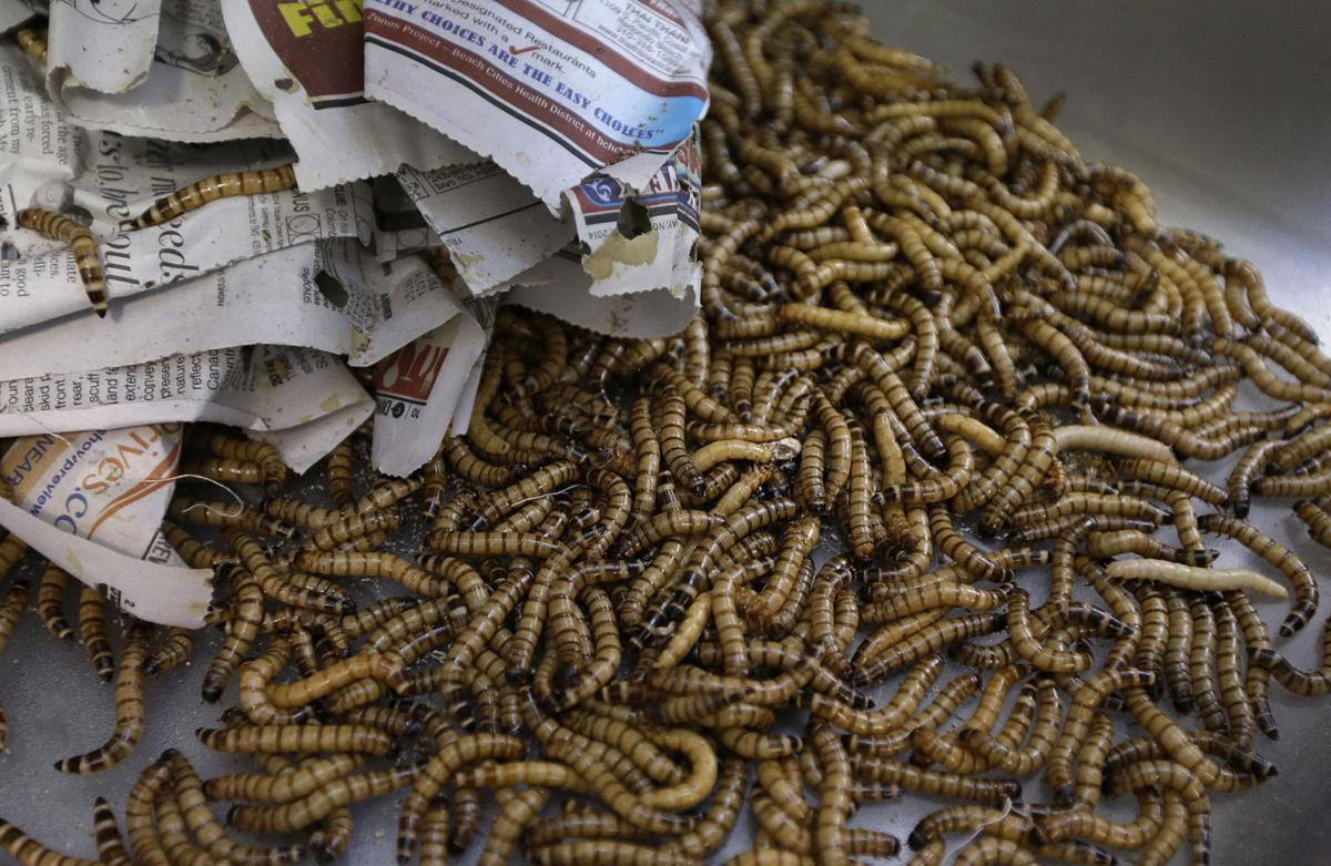 Entopreneurs' feed growing appetite for edible insects