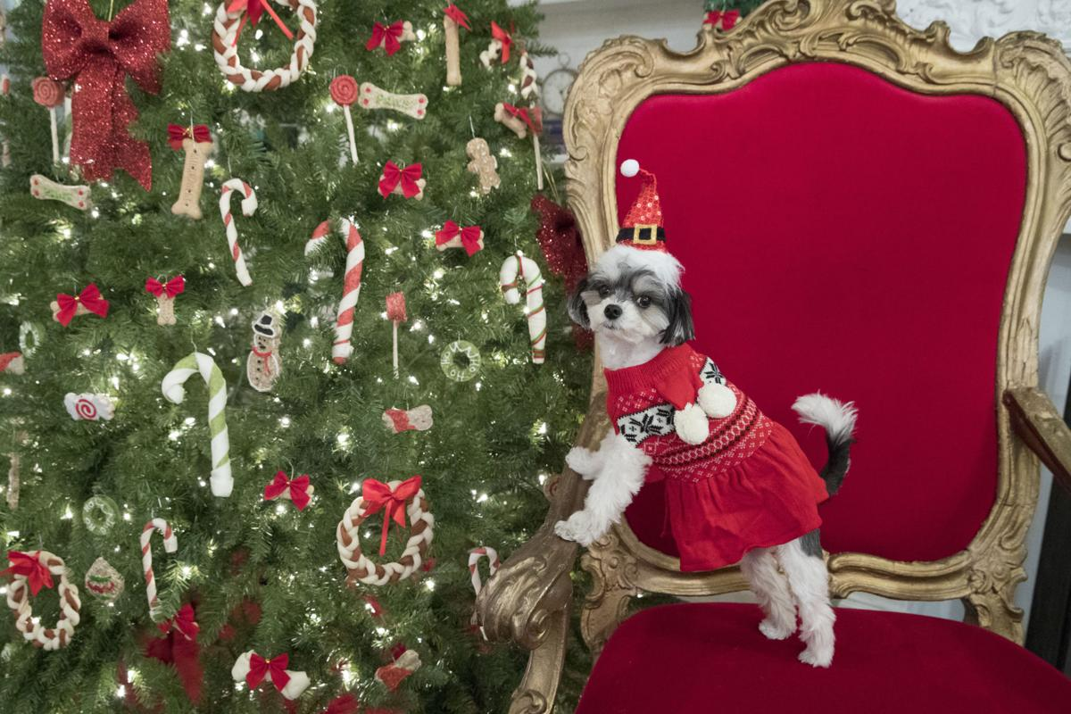Dogs in Christmas sweaters: Tinkerbelle